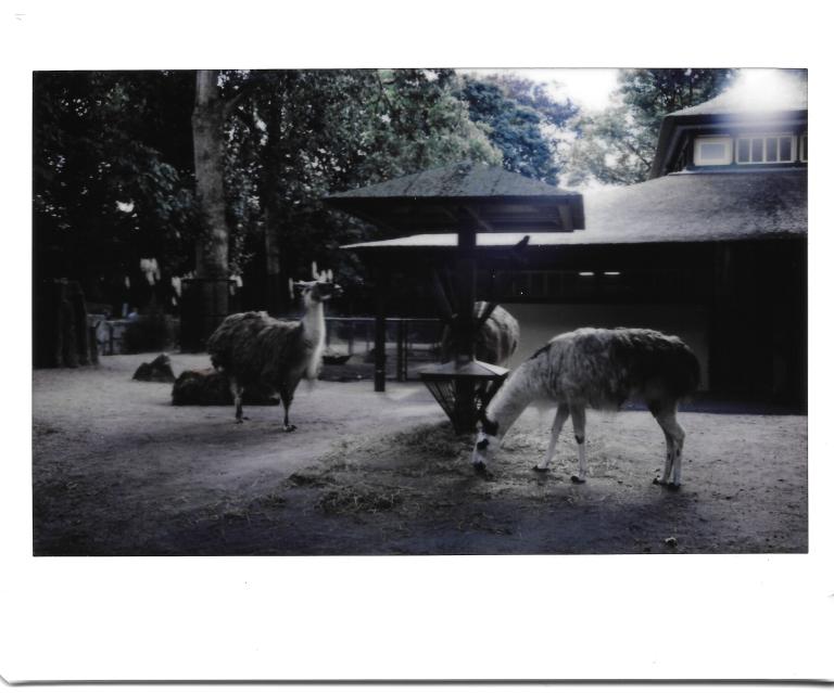 Zoo Llamas